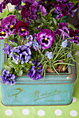 Lilac and purple violas and grape hyacinths planted in old biscuit tin