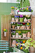 Violas in terracotta pots arranged on shelves of small wooden cabinet