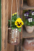 Yellow viola planted in suspended tin can