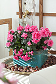 Pink-flowering azalea planted in old, turquoise tin