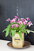 Streptocarpus planted in old tin