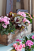 Various plants with deep pink and pale pink flowers in old wooden crate