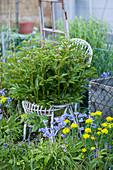 Pfingstrosen wachsen durch einen alten Rattanstuhl im Garten