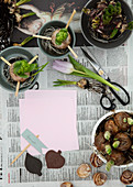 Hyacinth bulbs with wooden skewers in plant pots