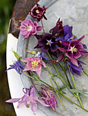 Various columbines in pink, violet and lilac