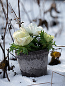 Clay pot with white anemones in the snow