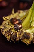 Acorns on a dried flower