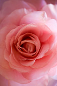 Detail of pink fabric rose