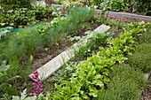Fennel, lettuce and thyme growing in vegetable patch with wooden board as walkway