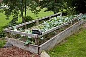 Kohlrabi in weathered wooden raised bed