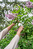 Cutting purple lilac from bush