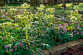 Bed with hellebore and corydalis