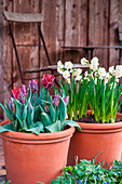 Parrot tulips and daffodils 'Bridal Crown' in pots