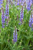 Hummel an Blüten vom Steppensalbei 'Blauhügel'