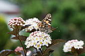 painted lady Butterfly on flowering umbel of bladderwort 'Diabolo