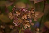 Faded mophead hydrangea flowers