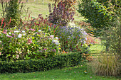 Autumn bed of hydrangeas, asters and knotweed surrounded by box hedge