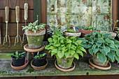 Hostas in terracotta pots outside garden shed