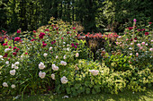 Flower bed with roses and lady's mantle
