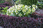 Knot garden with spring rose and barberry as a border
