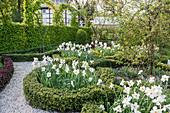 Spring knot garden with pheasant's eye daffodils
