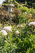 Flowering peony in herbaceous border