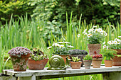 Succulents, ox-eye daisies and asparagus fern in pots on garden table