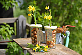 Flowering narcissus and onions in glasses with lids