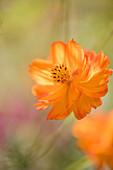 Orange sulphur cosmos