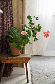 Potted geranium on wooden stool