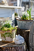 Potted snowdrops on terrace