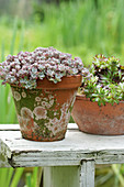 Upholstered sedum and houseleek in clay pots