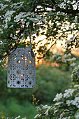 Lantern on the blooming hawthorn