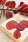 Red smoketree leaves pressed in old book