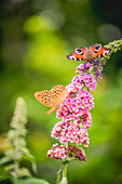 Silver-washed fritillary and peacock butterfly on bloom from summer lilac