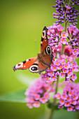Tagpfauenauge auf Blüte von Sommerflieder