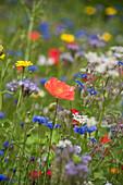 Flower meadow with poppies, borage, cornflowers, and wildflowers