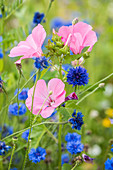 Rose mallow and cornflowers