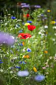 Blumenwiese mit Klatschmohn, Wucherblumen und Kornblumen