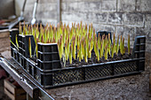 Tulips being grown in crates for cut flowers