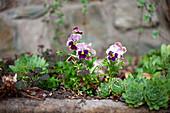 Sempervivums and violas in garden