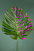 Swiss cheese plant leaf decorated with round pink stickers