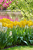 Bed of tulips and narcissus