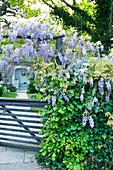 Wisteria flowering on garden gate