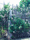 Climbing rose growing on rustic fence made from branches