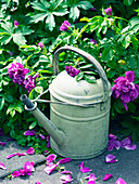 Beach rose 'Hansa' and old watering can