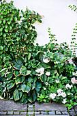 Climbing hydrangea and hostas in shady bed