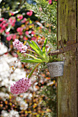 Flowering hyacinths in small bucket hung from post