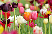 Multicoloured tulips in garden