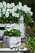Old boxes planted with white horned violets and daisies
